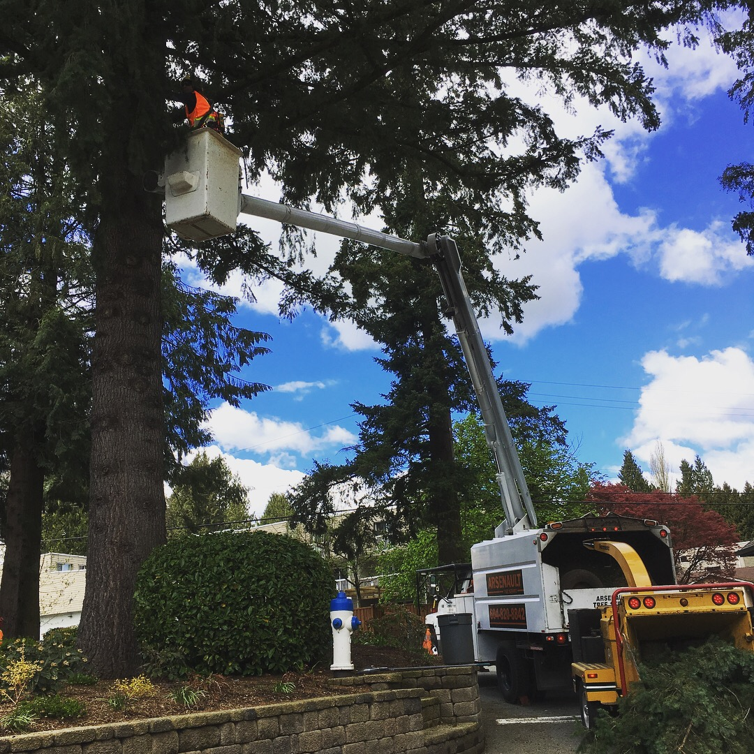 tree pruning douglas fir